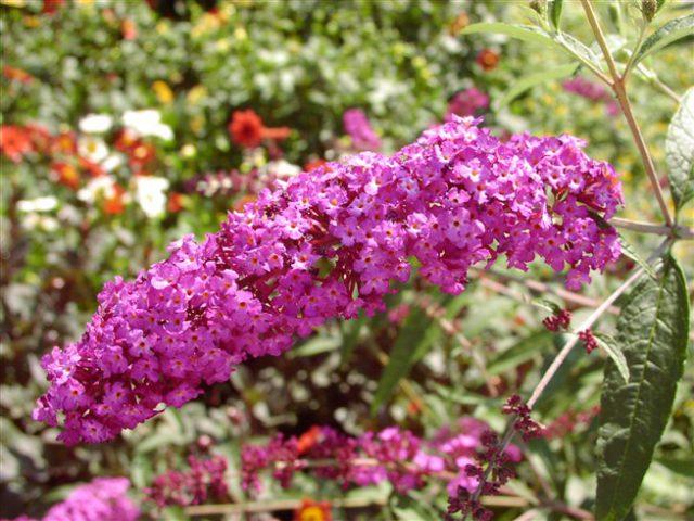 Сорт обладает пурпурными цветками