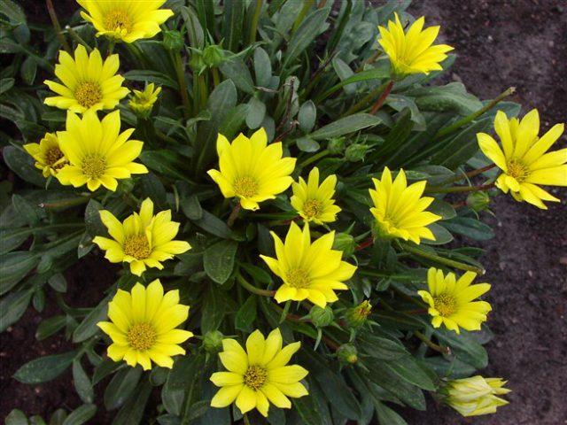 У серии сортов соцветия до 8 см в диаметре