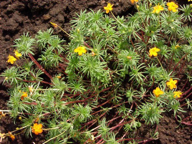 Метельчатые соцветия