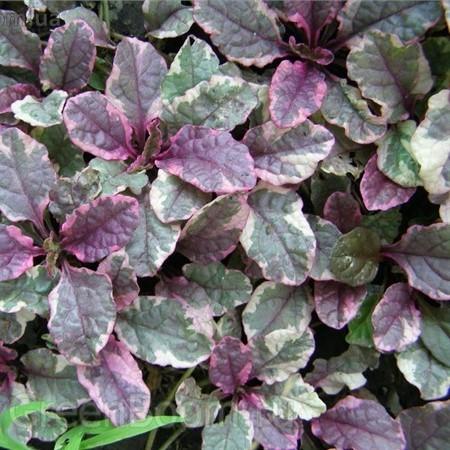 С беловато-зелеными с примесью красного листьями