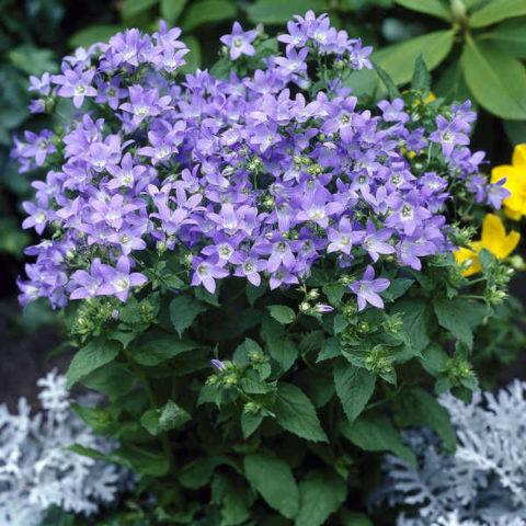 Цветки голубоватые, сидящие на стеблях до 60 см высотой