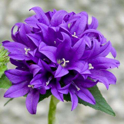 Сорт с темно-пурпурными цветками