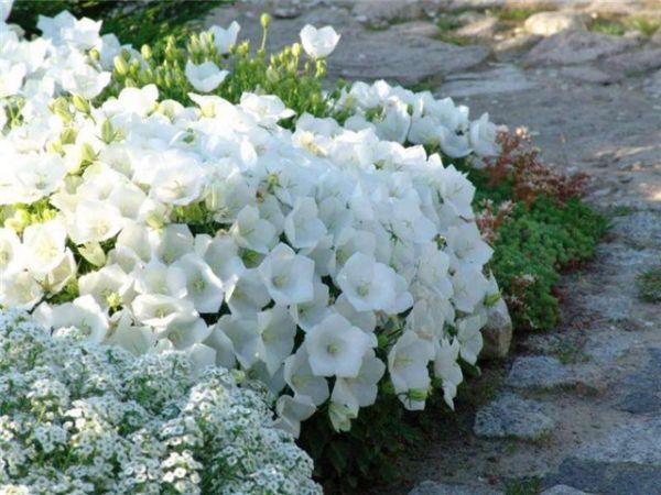У формы цветки кремово-белые