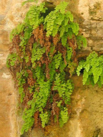 Ветвистый полувечнозеленый кустарник