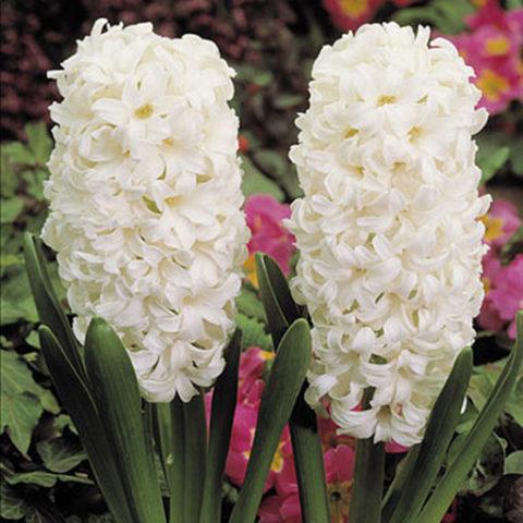 Цветки белые в густом колосовидном соцветии