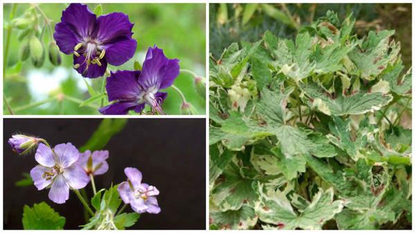 Сорт образует крупные яркие сине-фиолетовые цветки