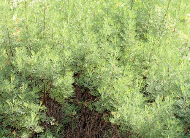 Серо-зеленые листья