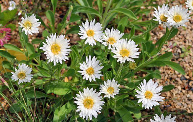 Сорт образует белые цветки