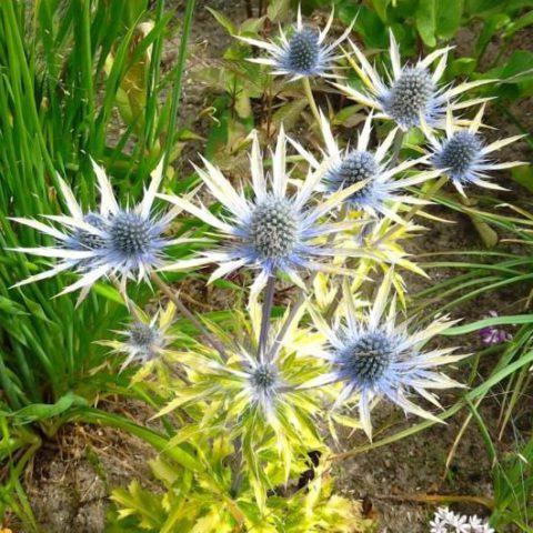 Гибрид, образующий темные сине-фиолетовые соцветия