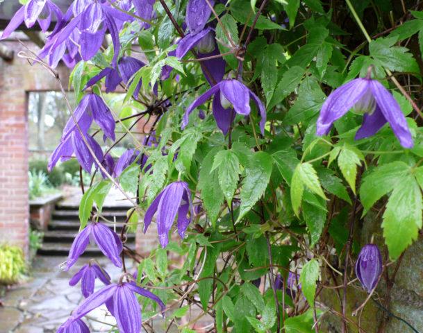 Листочки околоцветника пурпурно-голубые