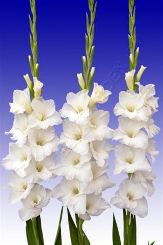 Сорт имеет чисто-белые цветки