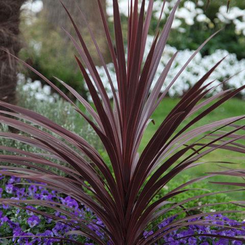 Сорт с темно-фиолетовыми цветками