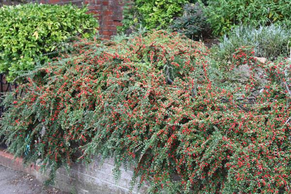 Растение для декорирования