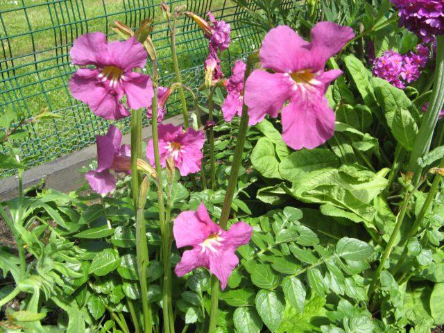 Цветки ярко-фиолетовые