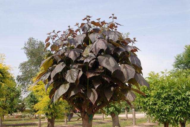 Высота дерева может равняться диаметру его кроны