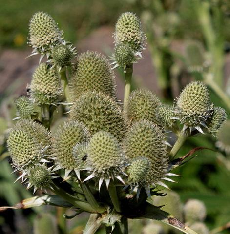 Вечнозеленое теплолюбивое растение