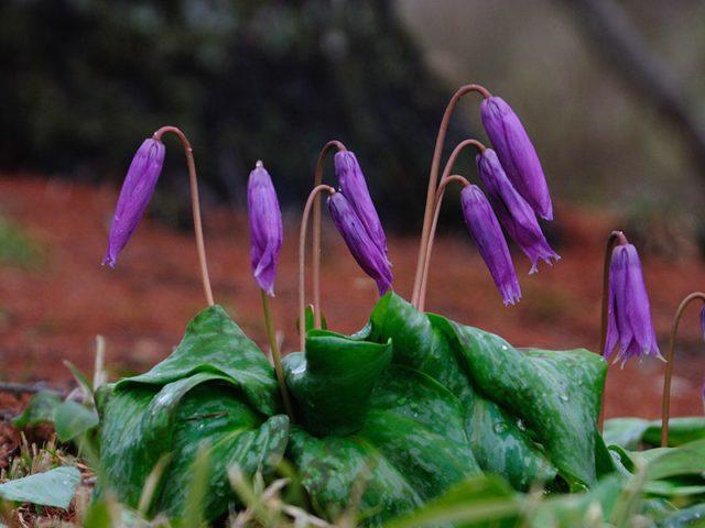Пурпурный оттенок цветков