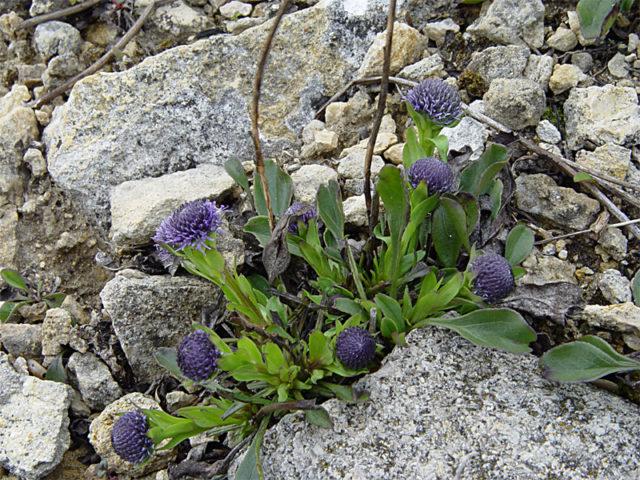 Розеточное полувечнозеленое многолетнее травянистое растение