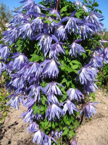 Сорт развивает светлые пурпурные листочки