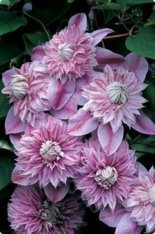 Цветки пастельно-лиловые