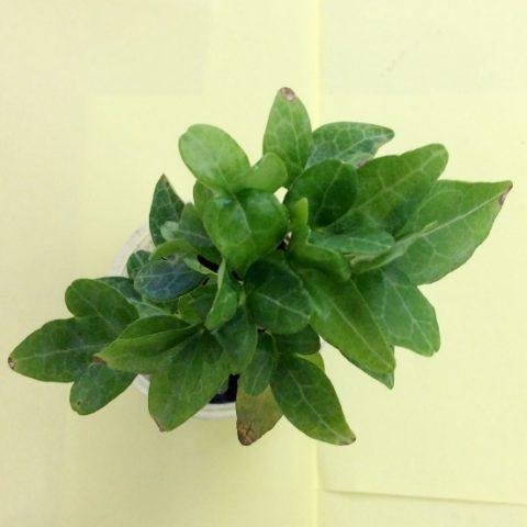 Популярное почвопокровное растение