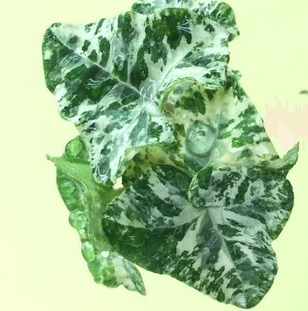 Мелкие пятилопастные листья