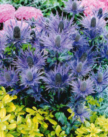 Темно-синие соцветия