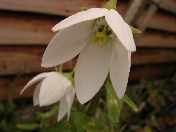 У сорта чисто-белые цветки