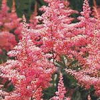 Нежно-розовое ромбическое соцветие