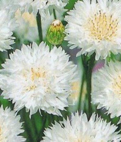 Соцветия до 4 см в диаметре
