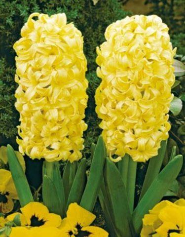 Цветки лимонно-желтые