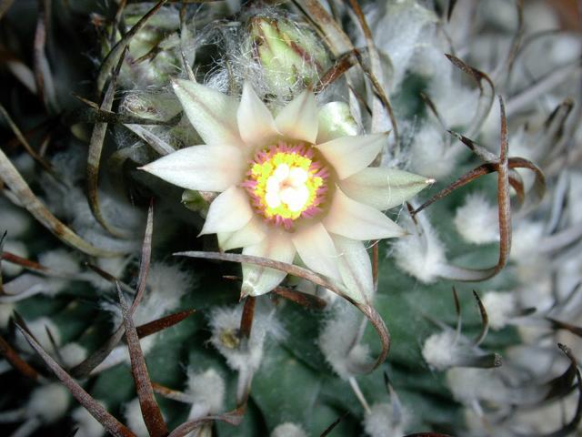 Цветки белые, листья сильно опушенные