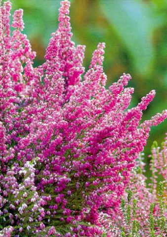 Множество розовато-лиловых цветков