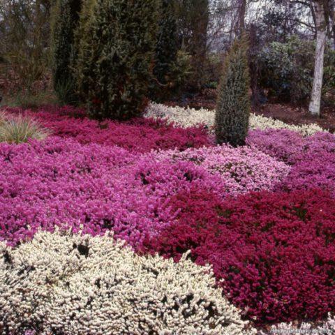 Прямостоячий кустарник с длинными колосовидными соцветиями