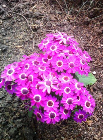 Крупные розово-красные цветки