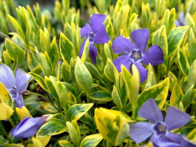 Цветет простыми цветками светло-лиловой окраски