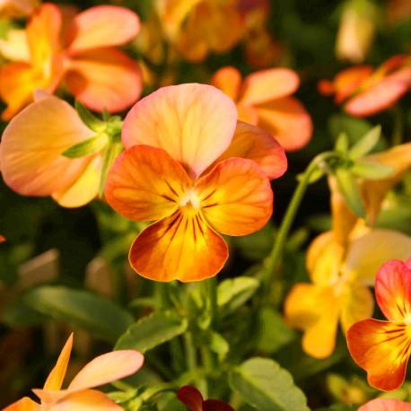 Цветки оранжевые.