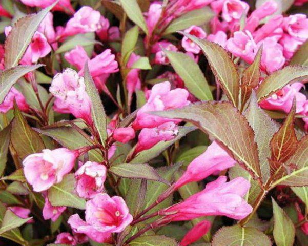 Листочки околоцветника малиново-розовые
