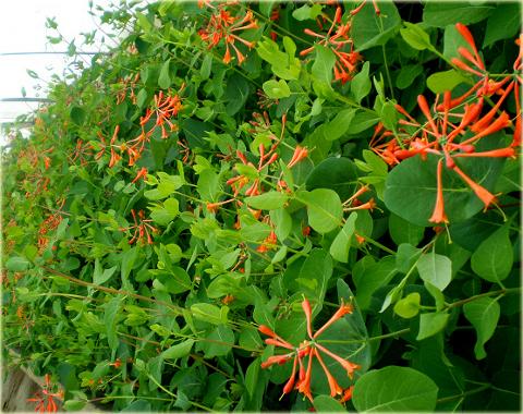 Соцветия очень красивых оранжево-алых цветков