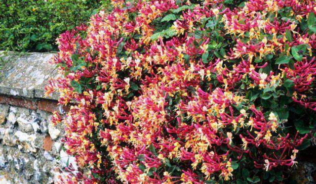 Обильные, обладающие сильным ароматом пурпурные цветки