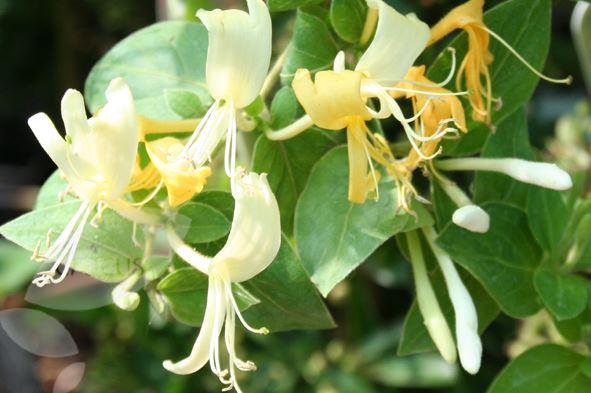 Цветки ароматные, белые, с возрастом желтеют