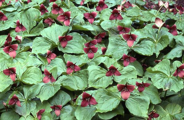Слегка поникающие темно-красные цветки