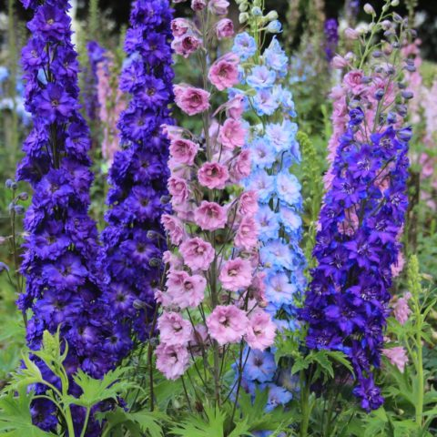 Цветка со шпорцем, фиолетово-синие, с темным центром