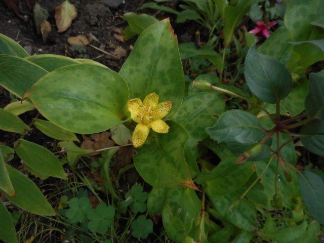 Чашевидные ярко-желтые с бледным крапом цветки