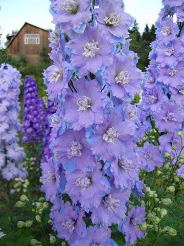 Высокий сорт с ультрамариново-синими цветками