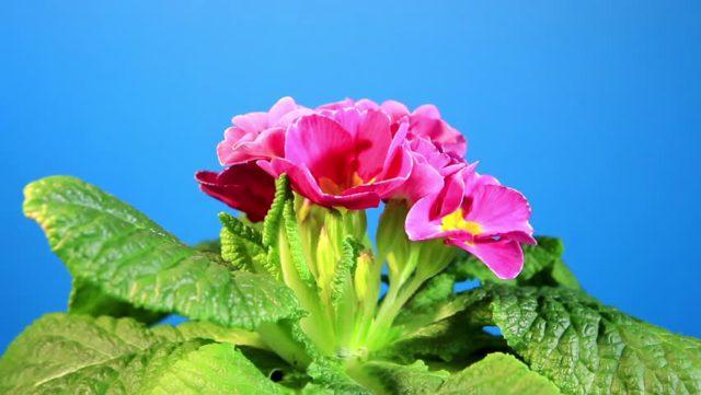 Цветки сорта разнообразны по окраске