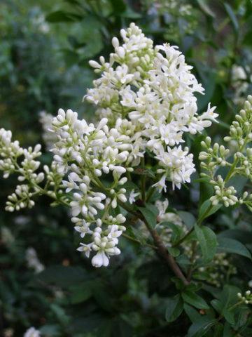 Цветки ароматные