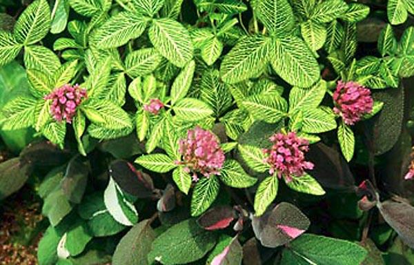 Для сорта характерны темно-розовые цветки