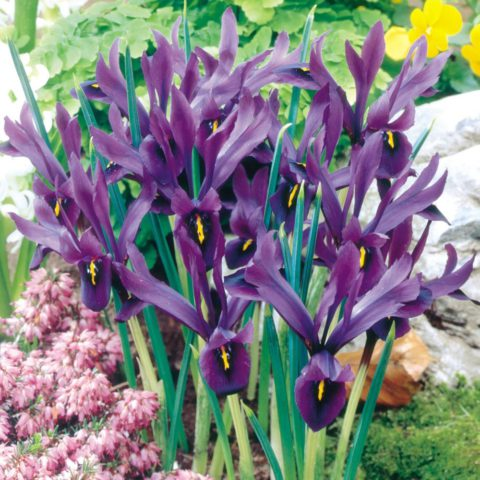 Цветки крупные, имеют сливово-фиолетовые стандарты