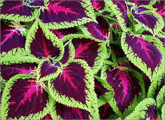 Морщинистые листья